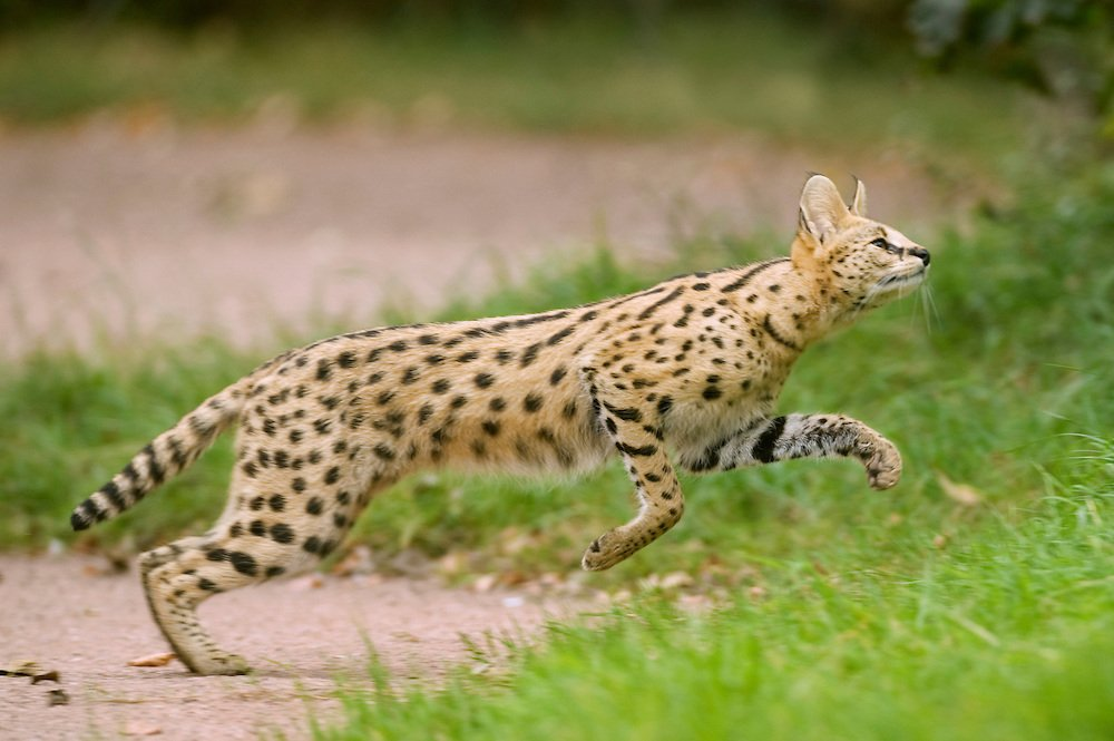 10 Incredibly Rare Wild Cat Species You Didn't Know Exist