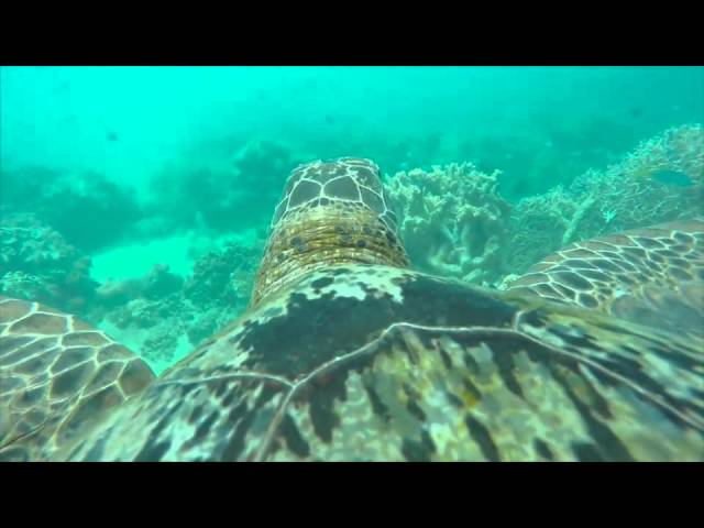 Aamzing Video Shows Life On The Great Barrier Reef Through Eyes of Sea Turtle