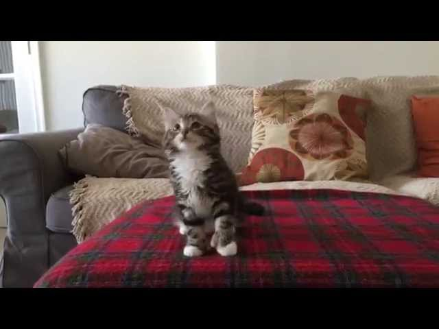 "Adorable Kitten Dances On The Bed To ""Uptown Funk"""