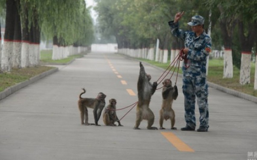 Chinese Military Training Monkeys To Destroy Bird Nests