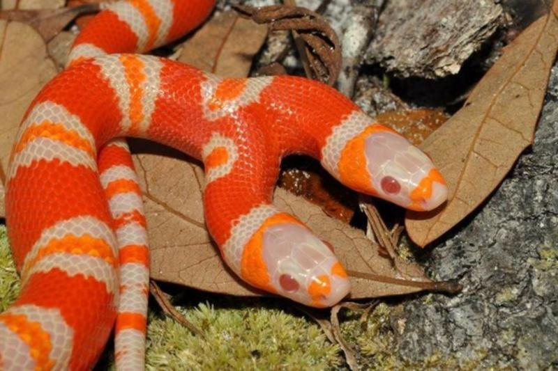 Two-Headed Snake Worth $50,000 Tries Eating Itself