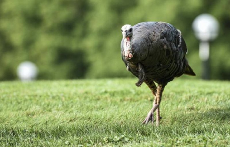 University Of Michigan Campus Terrorized By A Wild Turkey