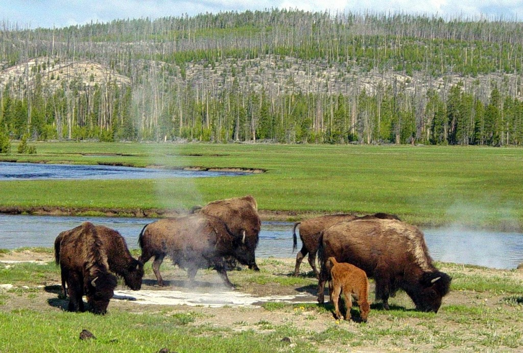 Yellowstone National Park Bans Selfies With Bison