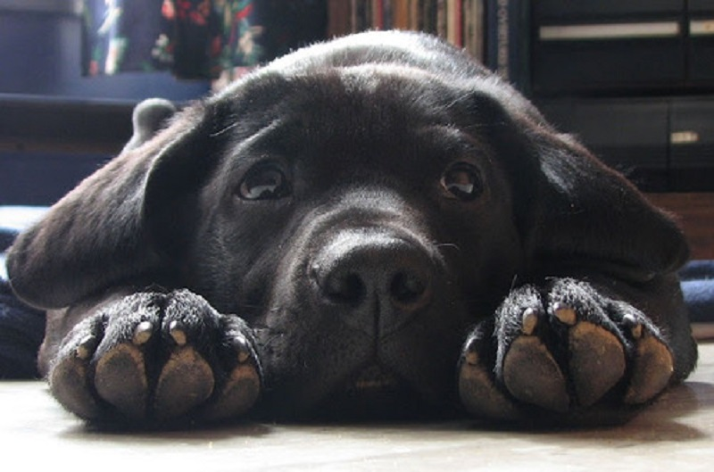 15 Reasons Why Owning A Labrador Is The Best Idea Ever