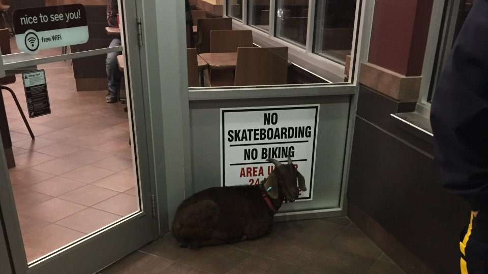 A Goat Has Been Arrested After Refusing To Leave Tim Hortons