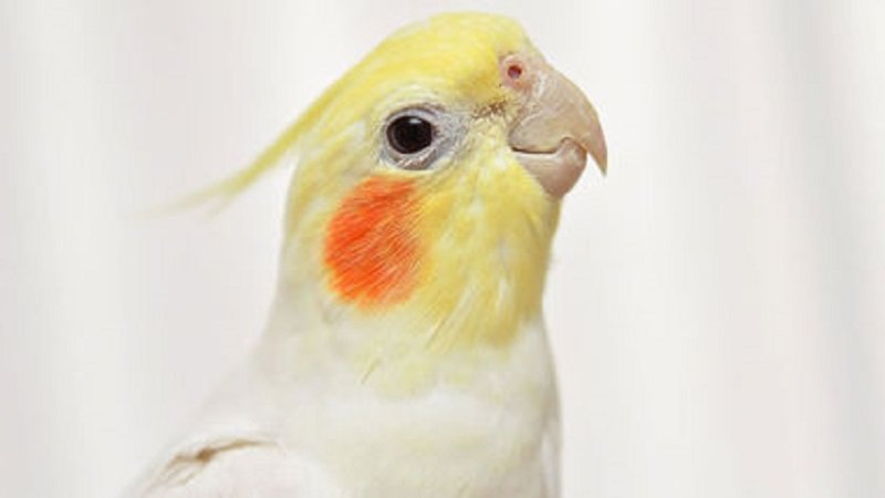 Millionaire Leaves $100,000 In Her Will To Her 32 Cockatiels