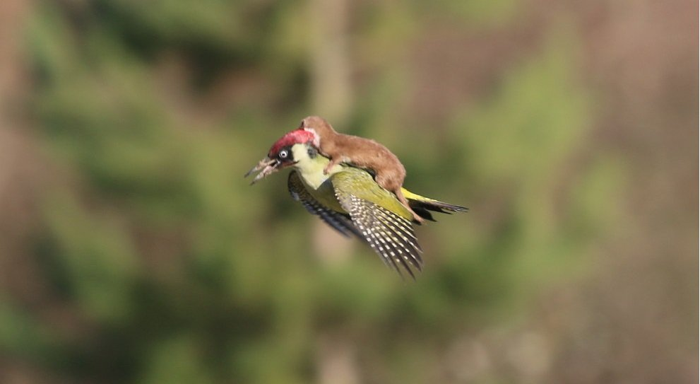 This Incredible Photo Of A Weasel And A Woodpecker Looks Like Something From A Movie