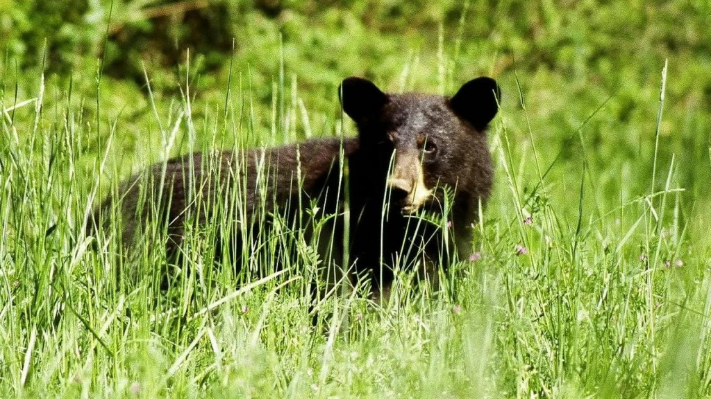 Man In Bear Costume Harasses Bears In Anchorage, Alaska