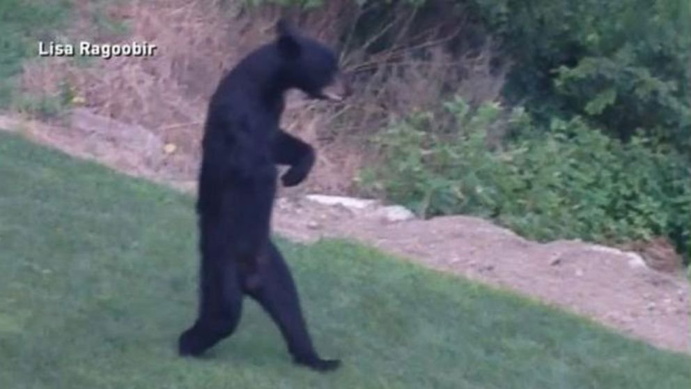This Bear Is Walking Around New Jersey On Its Hind Legs