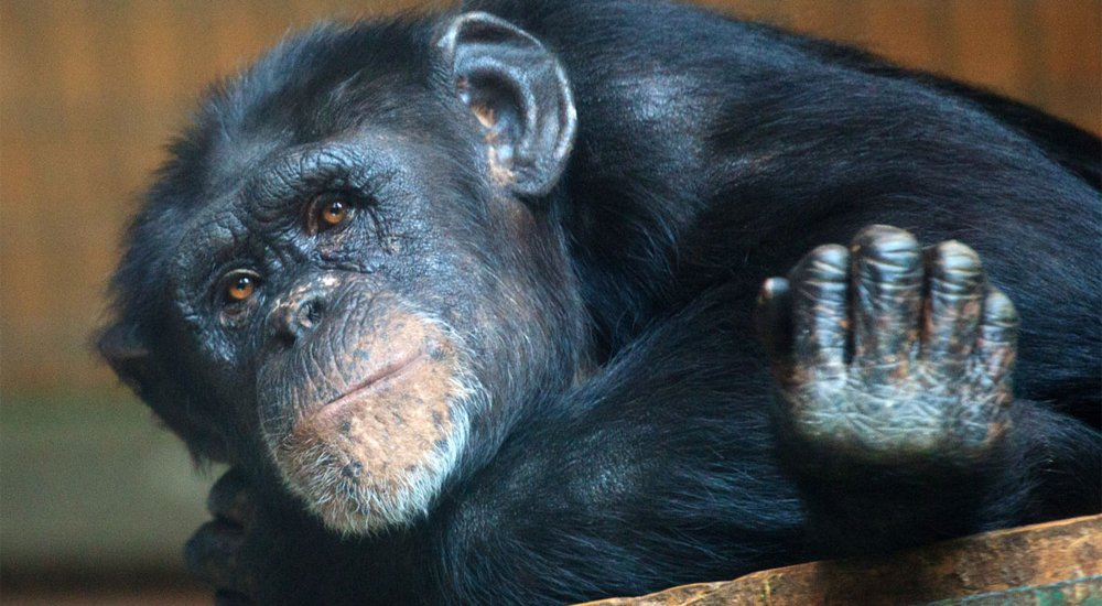 Apes Watch Horror Movies To Test Memory